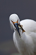 Snowy Egret-Hunting.  Fourth image in a  sequence of four.  Once caught, the prey has to be handled carefully.