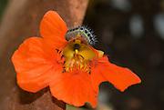 Close up of a caterpillar on an orange flower