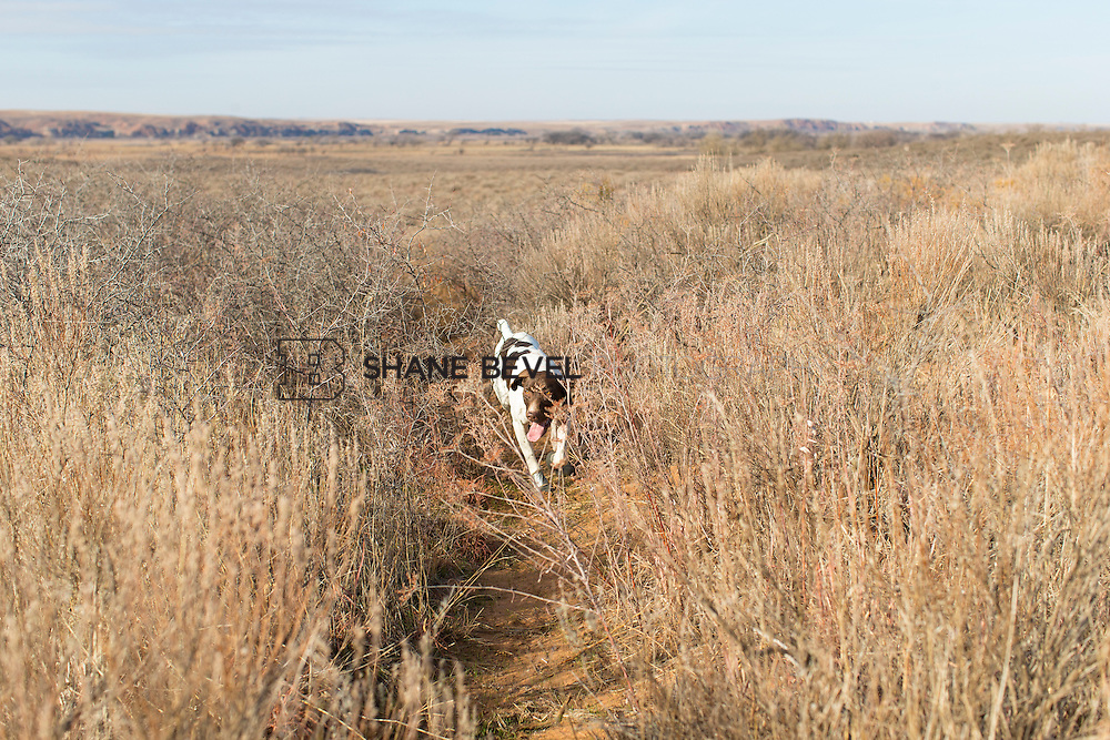 12/8/12 11:16:35 AM -- Quail hunting on the Cimarron Hills WMA in western Oklahoma. <br /> <br /> Photo by Shane Bevel