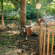 Prospect Park Goats