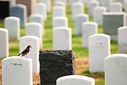 A robin with food in its mouth sits atop a gravestone in the San Francisco National Cemetery.