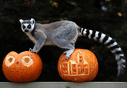 A ring tailed lemur sits on top of carved pumpkins at Blair Drummond Safari Park. The pumpkins carved by design students from nearby Forth Valley College and have been filled with enrichments.