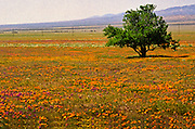 California State Flower Poppy Field
