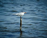 Caspian Tern (winter plumage?). Biolab Road, Merritt Island National Wildlife Refuge. Image taken with a Nikon D3s camera and  70-200 mm f/2.8G VRII lens and TC-E 2.0 III teleconverter (ISO 200, 400 mm, f/5.6, 1/1000 sec).