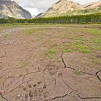grizzly bear tracks in the sand, two medicine valley, glacier national park,