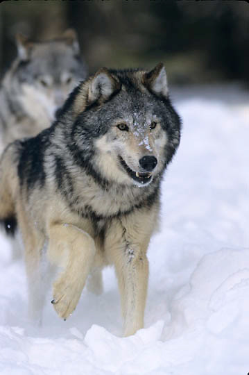 Gray Wolf, (Canis lupus) Running in winter snow. Montana. Captive Animal.
