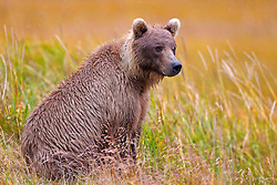 North American brown bear /  coastal grizzly bear (Ursus arctos horribilis), sits in a field of grass Lake Clark National Park, Alaska, United States of America