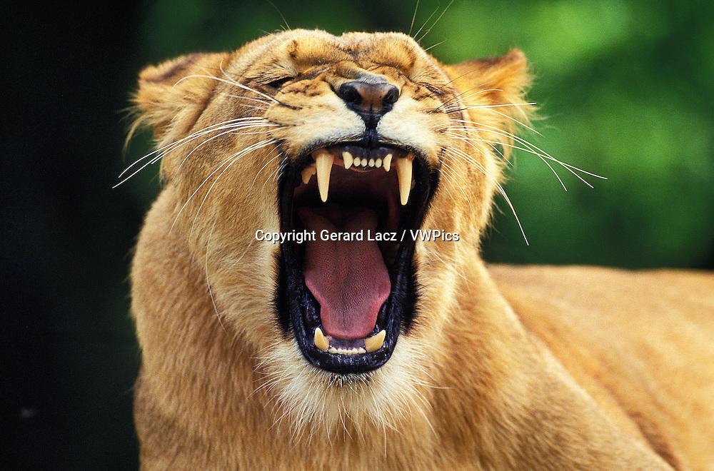 African Lion, panthera leo, Female Yawning