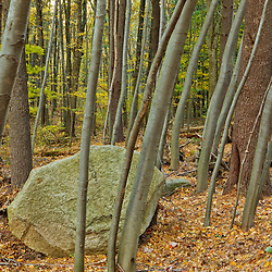 A boulder in the forest at Elmwood Farm in Hopkinton, Massachusetts.
