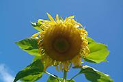 sunflower head beneath blue Vermont sky