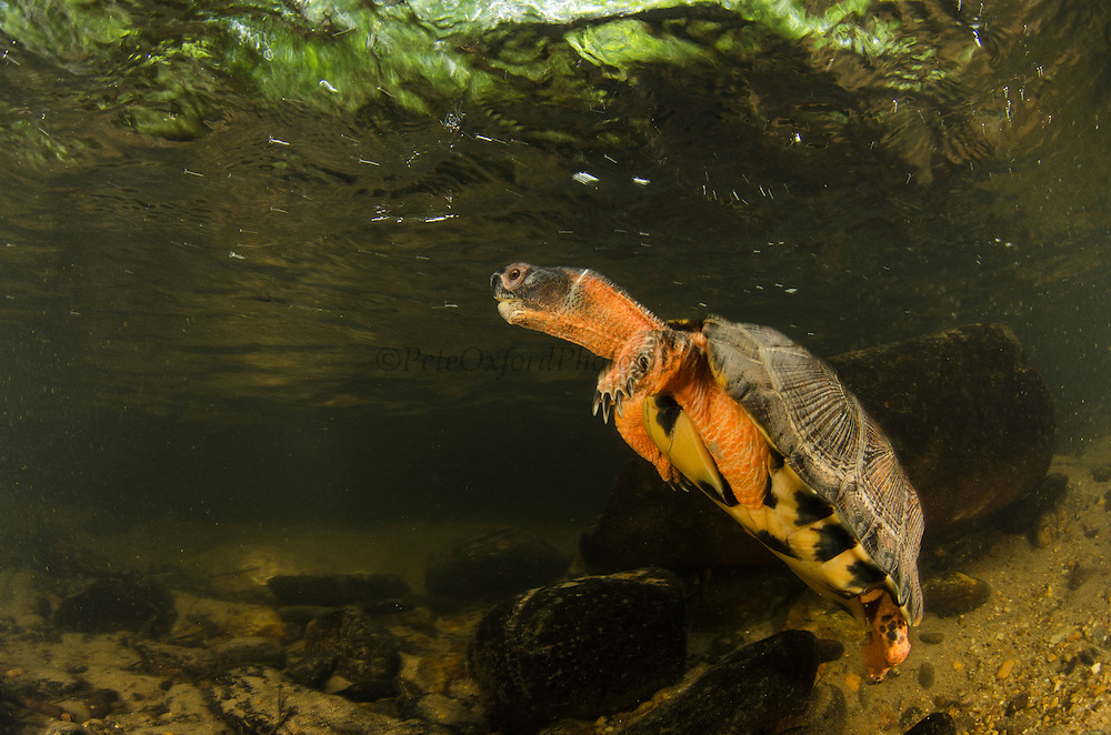 Wood Turtle (Glyptemys insculpta)<br /> CAPTIVE<br /> The Orianne Indigo Snake Preserve<br /> Telfair County, Georgia<br /> USA<br /> HABITAT &amp; RANGE: Wood Turtle (Glyptemys insculpta) swimming underwater<br /> CAPTIVE<br /> USA<br /> HABITAT &amp; RANGE: Near streams and rivers form Nova Scotia to Minnesota and Virginia.<br /> ENDANGERED SPECIES