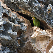 A yellow-shouldered amazon parrot (Amazona barbadensis) sits in a limestone cliff on Bonaire. The parrot is likely guarding a nest site. This species frequently nests in limetone cavities, especially since there are very few trees left on the island that are big enough to have nest cavities. Cavities are in even shorter supply because many have recently been taken over by Africanized bees, which are invasive.