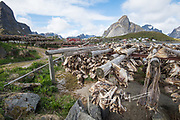 Cod heads dry on wooden racks in Reine, part of a traditional way of preserving them in Lofoten Islands, Norway.