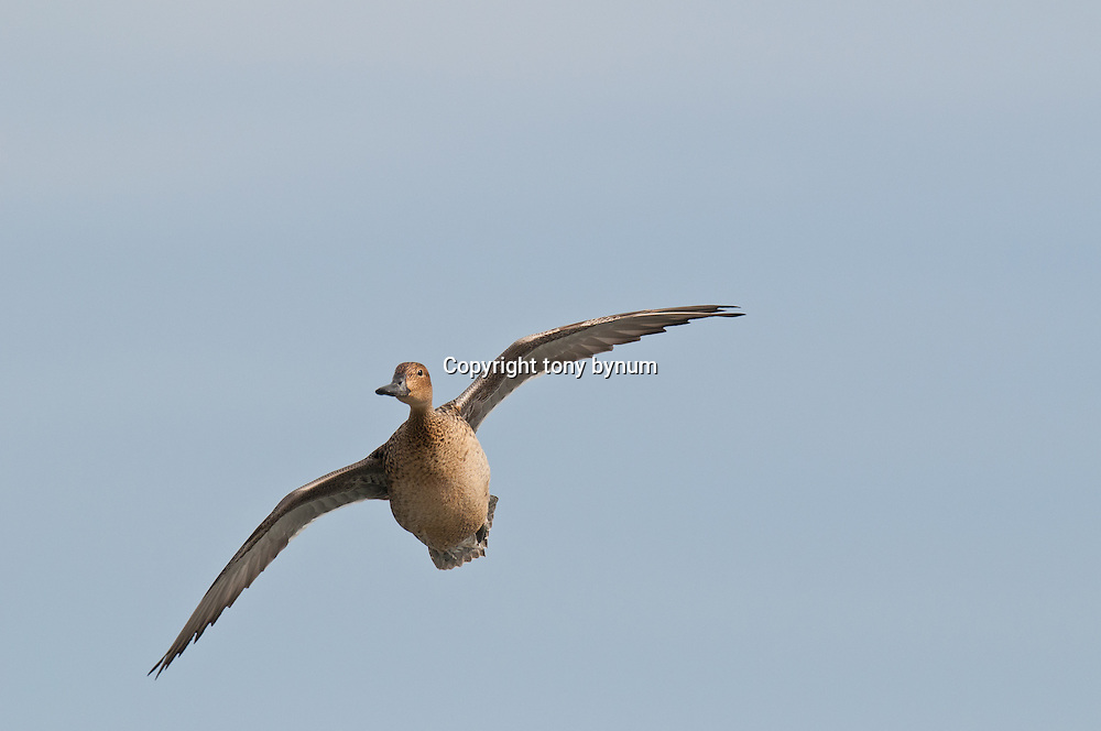 hen northern pintail alone, in flight turning blue sky