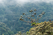 Trees reach into the mist of Bellavista Cloud Forest Reserve, near Quito, Ecuador, South America.