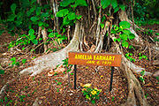 Celebrity planted banyan tree (Amelia Earhart) on Banyan Drive, Hilo, The Big Island, Hawaii USA
