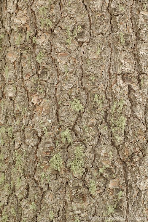 Bark of southwestern white pine (Pinus strobiformis), Coronado National Forest, Arizona