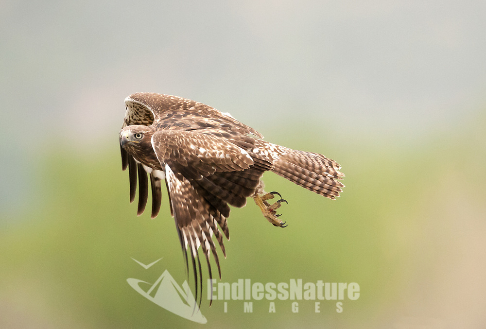 A Red Tailed Hawk in fight looks for mice and small birds along the edge of a local Utah farmers field.