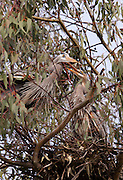 Great Blue Heron pair on the nest at Lake Murray, high in a Eucalyptus tree.  San Diego, CA.  USA