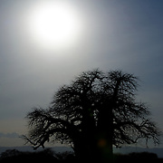 Silhouette of one of the distinctive baobab trees at Tarangire National Park in northern Tanzania not far from Ngorongoro Crater and the Serengeti.