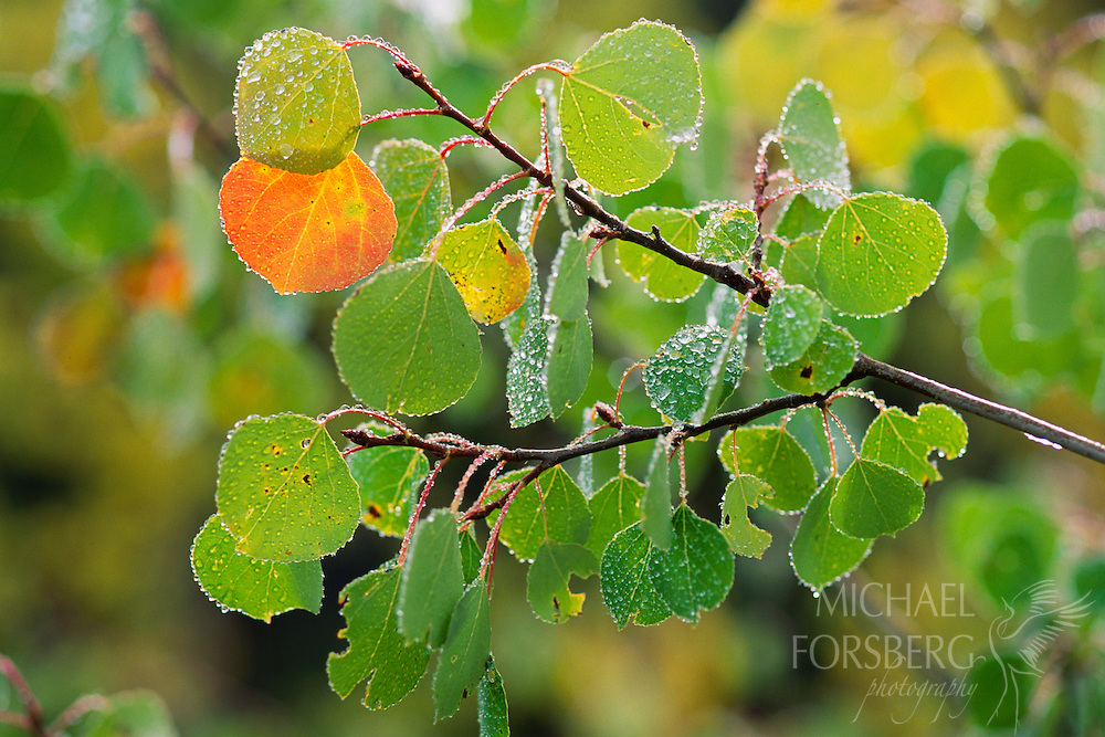 Summer turns to fall as revealed in this quaking aspen's leaves near the timberline.  Rocky Mountain National Park, Colorado.
