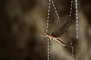 Mayfly caught in the sticky silk threads from the larvae of the fungus gnats (Arachnocampa luminosa). The larvae will pull up the silk to eat the mayfly. Glowworm cave near Waitomo Cave, New Zealand. Close to Te Kuiti. | Die mit klebrigen Sekrettr&ouml;pfchen versehenen Fangf&auml;den der Pilzm&uuml;ckenlarven (Arachnocampa luminosa) sind stabil genug, um eine Eintagsfliege festzuhalten. Die an der H&ouml;hlendecke in ihrem Netz kriechende Larve wird anhand der Vibrationen den richtigen ihrer bis zu 60 herabh&auml;ngenden Fangf&auml;den lokalisieren und ihre Beute St&uuml;ck f&uuml;r St&uuml;ck nach oben ziehen.<br /> Arachnocampa luminosa ist eine von etwa 3000 Pilzm&uuml;ckenarten weltweit und lebt an feuchten, dunklen Stellen (H&ouml;hlen und &Uuml;berh&auml;nge) in Neuseeland. Die Waitomo Cave und H&ouml;helsysteme nahe der Ortschaft Te Kuiti sind bekannt f&uuml;r die leuchtenden Larven.