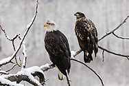 Juvenile Bald Eagles (Haliaeetus leucocephalus) perched on cottonwood branch along the Chilkat River in the Chilkat Bald Eagle Preserve in Southeast Alaska. Winter. Morning.