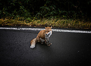 Wild fox on the roadside near Mt. Tokachi.  Daisetsuzan National Park.  Hokkaido, Japan  With a total area 226,000 ha (558458.162 acres), Daisetsuzan National Park is the largest national park in Japan.