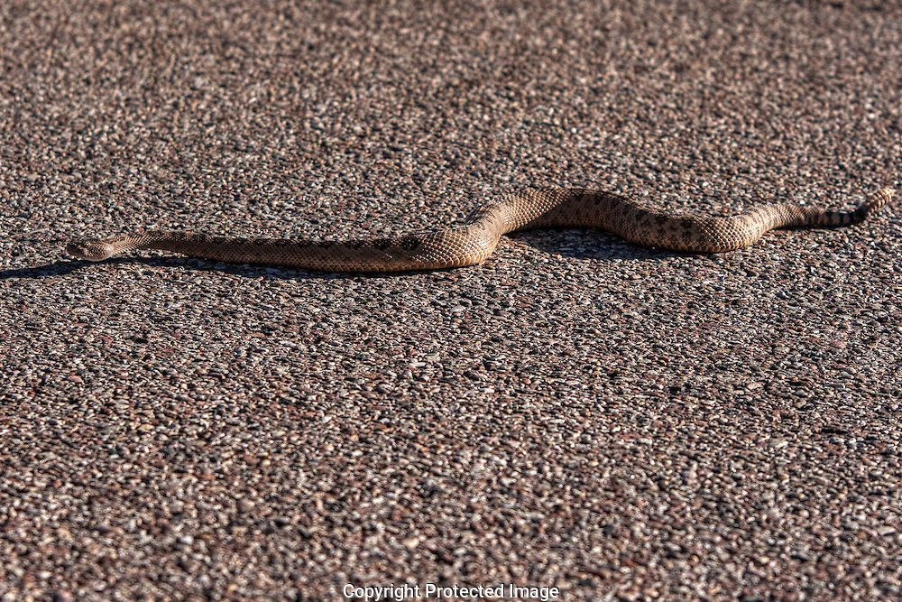 One of the most aggressive rattlesnake species, the  Mojave rattlesnake crossing highway in southwest Utah.  Use caution when around venomous reptiles, their bites can be fatal.