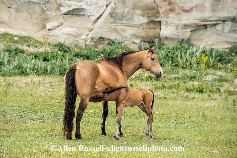 Quarter Horses, mare, foal, nursing, dun