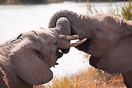The world's largest land mammals, African Elephants consist of two species; the African bush elephant and the samller African forest elephant.