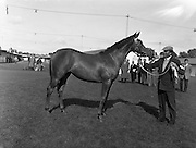 19/09/1960<br /> 09/19/1960<br /> 19 September 1960<br /> Goffs September Bloodstock Sales at Ballsbridge, Dublin. The Ballsbridge September Yearling Sales opened in Dublin and attracted many international racing personalities. Picture shows the highest priced yearling of the day, a chestnut filly by &quot;Alycidon&quot; out of &quot;June Ball&quot;, sent up by Mr. J.P. Frost of Limerick and purchased by Mr. Neil McCarthy of California for 6,200 Guineas