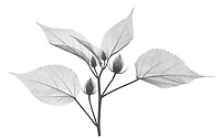 X-ray image of a midnight marvel hibiscus in bud (Hibiscus 'Midnight Marvel', black on white) by Jim Wehtje, specialist in x-ray art and design images.