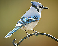 Blue Jay. Image taken with a Nikon D5 camera and 600 mm f/4 VR telephoto lens (ISO 1250, 600 mm, f/4, 1/640 sec)
