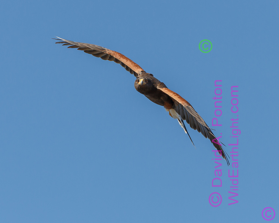 Harris's hawk looks straight on and banks to new direction, blue sky background, © 2012 David A. Ponton