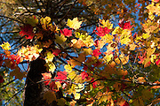 Hall Colors in Harold Parker State Forest, Andover, MA