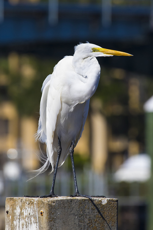 Oct. 31, 2017: A great egret sits on a piling in Jupiter, FL.