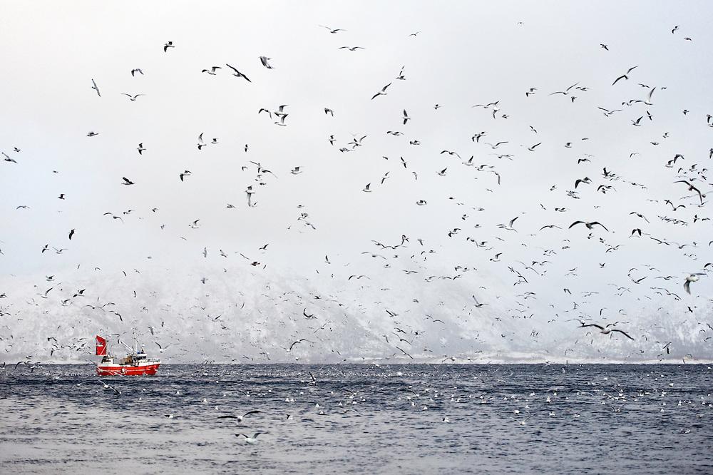 Fishing boat, seagulls (Larus canus), Lofoten, Norway