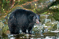 Black Bear (Ursus americanus), fishing for salmon while fattening for winter at Thornton Fish Hatchery, Thornton Creek, Ucluelet, Vancouver Island, Canada