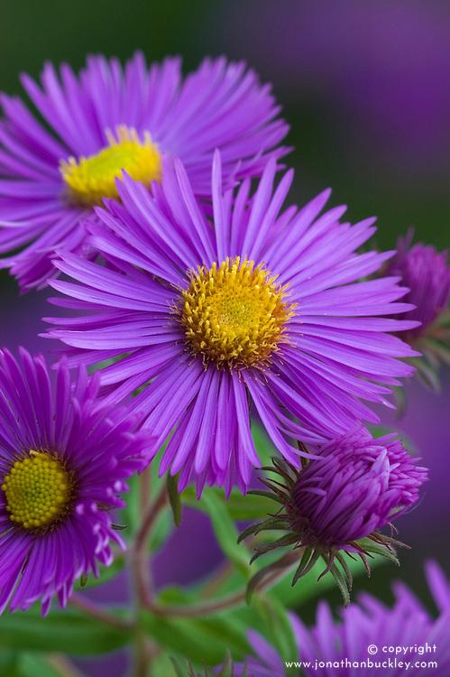 Aster novae-angliae 'Barr's Purple'