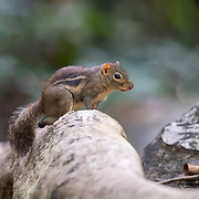 This relatively small ground squirrel mainly inhabits dry, open forests and secondary scrub. It is both terrestrial and arboreal.<br />