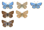 Adonis Blue - Polyommatus bellargus - male (top row) - female (middle and bottom row). Wingspan 32mm. A classic chalk downland butterfly, males of which are dazzling. Adult male has iridescent blue upperwings with black and white margins; female's upperwings are brown with orange submarginal spots. Underwings of both sexes are grey-brown with spots. Double brooded: flies May–June and July–August. Larva feeds on Horseshoe Vetch; can sometimes be found in short turf being attended by ants. Very local in southern England but entirely restricted to chalk downs.