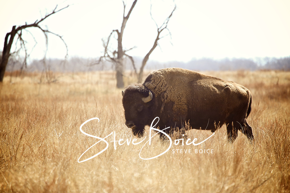 Bull bison in vintage sepia at the Rocky Mountain Arsenal National Wildlife Refuge