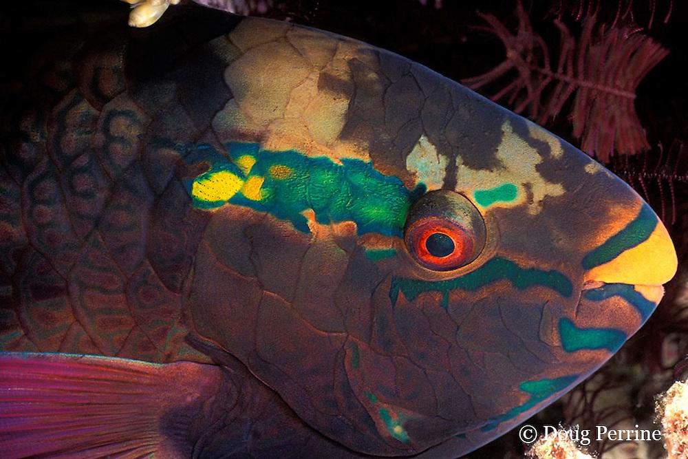male swarthy parrotfish, Scarus niger, asleep in reef at night, Helengeli, Maldives ( Indian Ocean )