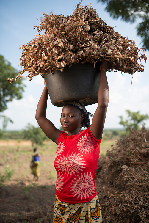 Harvesting groundnuts (peanuts) in Siby, Mali.