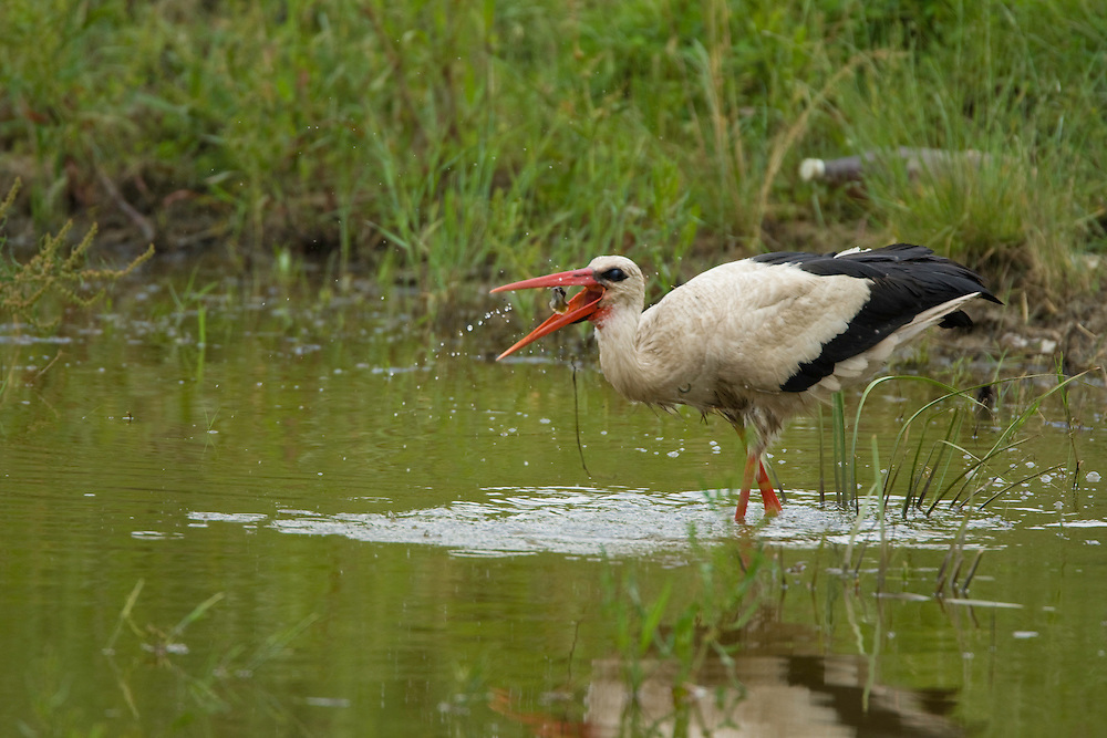 White Stork (ciconia ciconia) with prey, Weissstorch mit Beute, near Nikopol, Bulgaria