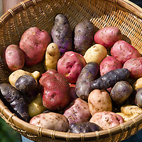 A farmer holds  a basket filled with a rainbow of freshly harvested heirloom potatoes: purple, yellow, red, pink and white.