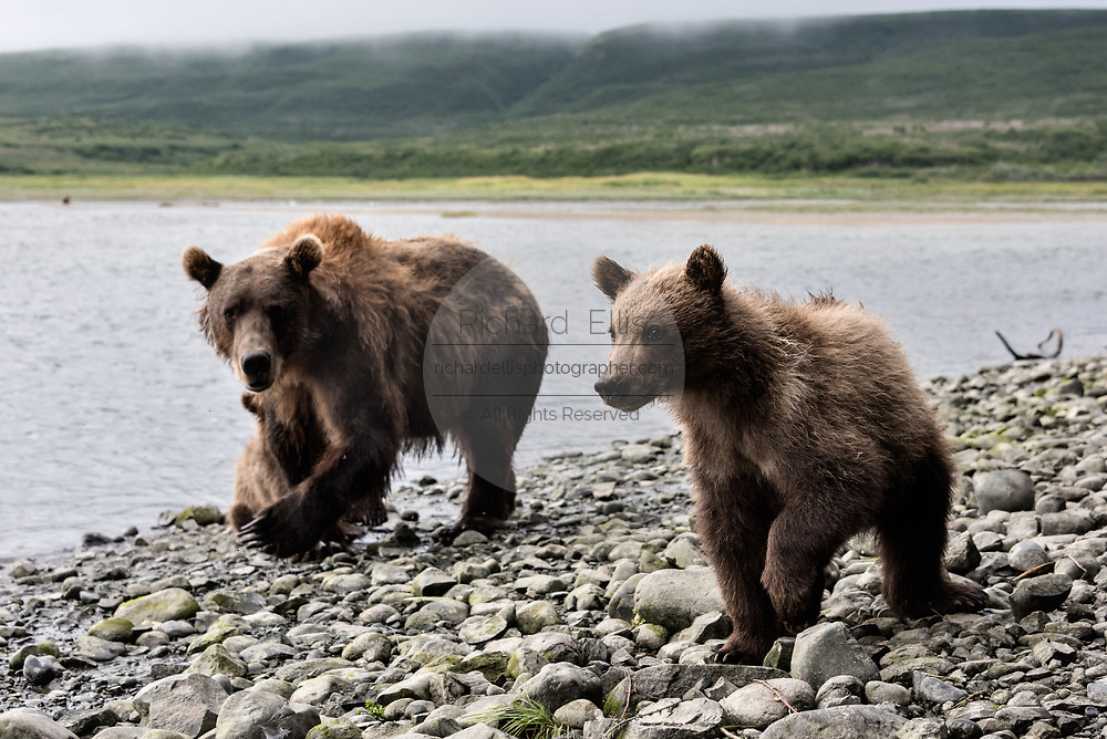 A brown bear sow known as Bearded Lady walks alongside her spring cubs at the McNeil River State Game Sanctuary on the Kenai Peninsula, Alaska. The remote site is accessed only with a special permit and is the world's largest seasonal population of wild brown bears in their natural environment.