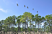 20090903  -  Carrabelle, Fla : Pelicans fly over tall pine trees at Carrabelle Beach, Fla. Sun, sand, and seafood in Carrabelle, Apalachicola, St. George Island and East Point, Florida for Lisa, Lauren and David Tulis taking a Labor Day vacation to relax on the beach on September 4, 2009.  David Tulis         dtulis@gmail.com    ©David Tulis 2009