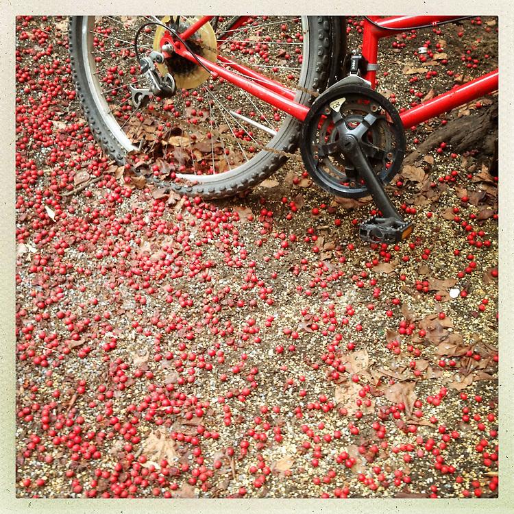 Germany - BERLIN - Berlin HIPsta Diary; backyard  Berlin-Kreuzberg - red bike and red berries; 29.12.2012 © Christian Jungeblodt